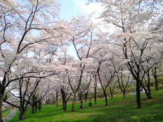 20080420_sakura.jpg